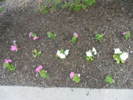 Pink and white flowers in 3 rows by dth1971