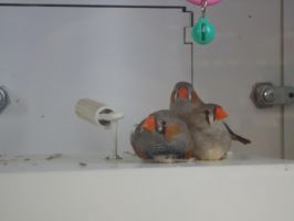 zebra finches by Flherg