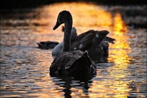 Swans from the series 1-5 ~ AStoKo by AStoKo