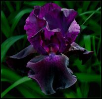 PURPLE IRIS 3 by THOM-B-FOTO