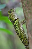 Blue-eyed Angle-headed Lizard by melvynyeo