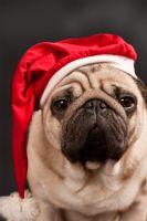 Boris the christmas pug 02 by xenophex