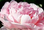 Pink Rose by Meggs255