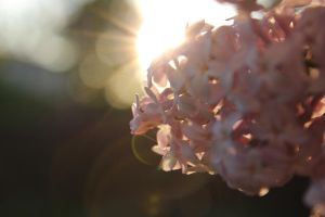 sun on lilac... by MissRose8