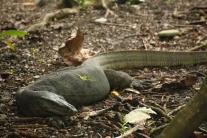 Monitor Lizard 1 by DrakeXaos