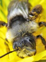 Ashy Mining Bee by iriscup