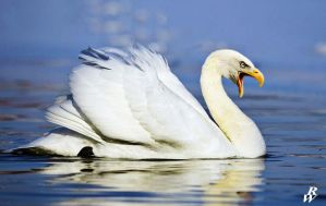 Bald swan by Dwarf4r