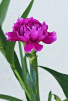 Pink carnation flower 2 by a6-k