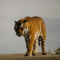Prowling tiger 3 - Stock by Sassy-Stock