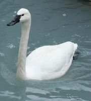Tautphaus Zoo 13 Swan by Falln-Stock