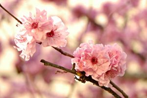 Plum Blossoms by mbeach