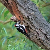 Woodpecker 2 by bluesgrass