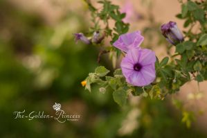morning glory flower .. by The-Golden-Princess