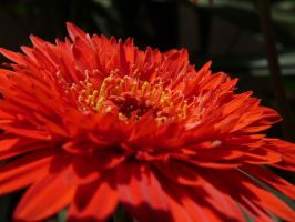 Gerbera Daisy by darth-laul