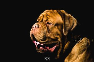 Dogue De Bordeaux by K-liss