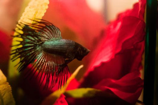 Warrior the Crowntail Betta by EmeraldRosepetal