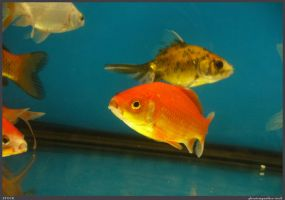 Fish Stock 0056 by phantompanther-stock