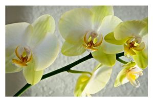 moth orchid 3 by tea