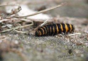 Pretty Caterpillar - Tyria jacobaeae by TheFunnySpider