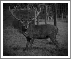 Stag by photomechanic