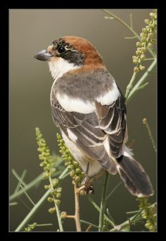 Woodchat Shrike by invisiblewl