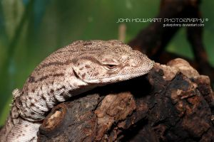 Pygmy Monitor by guitarjohnny