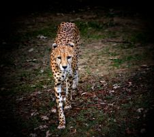 Cheetah spotlight by TlCphotography730