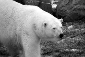 Polar Bear in Black and White by roamingtigress