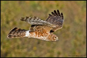 Northern Harrier by AirshowDave