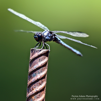 Dragonfly by PaytonAdams1