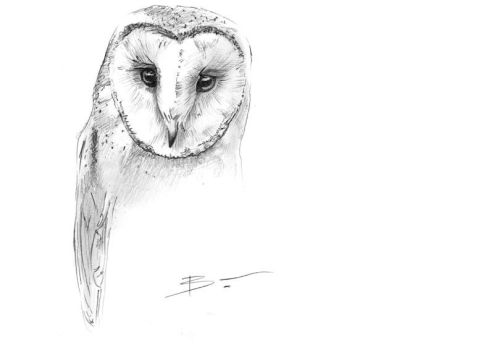 Barn owl sketch by BenPostmus