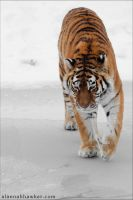 Tiger by Alannah-Hawker