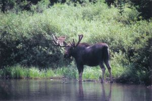 everybody loves a moose by poeticwriter007