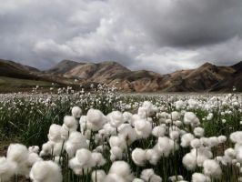 Cotton Fields by Izzyforreal
