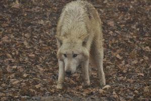 Wolf Science Center New 3 by Lakela