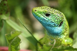 Green lizard by s-ascic