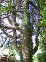 Big Tree 2 by OWTC-Stock