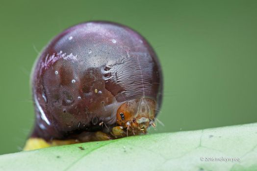 Nolid Moth Caterpillar by melvynyeo