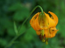 Tiger Lily 1307.27 by Dilong-paradoxus