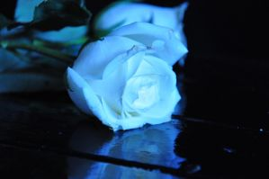 white blue rose III stock by StarsColdNight
