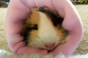 Snuggly Guinea Pig by CountryGirl11