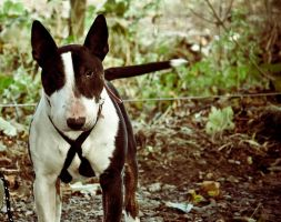 Nadal The English Bull Terrier V by scribbleXcore