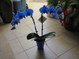 Blue Orchid - Stock 1 by CNLGraphics