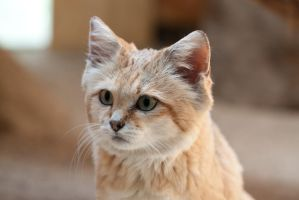 Cute Sand Cat by Funky-Dragon