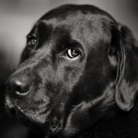 My Own Sweet Labrador by clippercarrillo