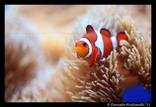 Clown Fish II by TVD-Photography