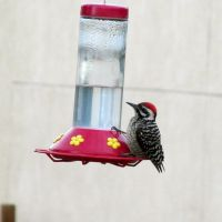 Ladder-backed Woodpecker by hclausen
