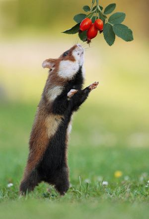 Hamster and Rosehips by JulianRad