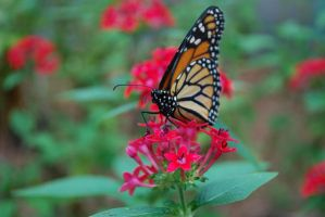 Monarch Butterfly Stock 15 by chamberstock