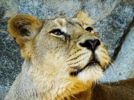Lion portrait by AnNacht